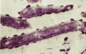 Большая карьера маленькой бактерии