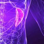 Функции селезенки в организме человека